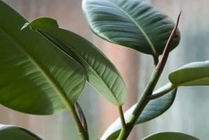 indoor plants and cancer - India Rubber House Plant (Ficus elastica)